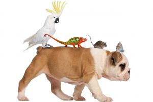 Bulldog with a cockatoo, chameleon, mouse and butterfly on his back