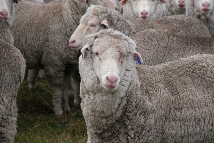 White Gum Wool sheep
